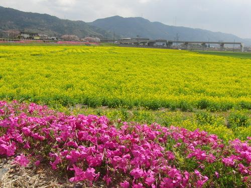 2011.4.19.保津観光菜の花園 横.JPG