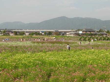 「日の丸」型のコスモス(センセーションホワイトとディープレッドキャンパス).JPG