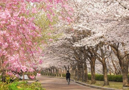 h2302_特選「春爛漫和らぎの道」山下 文行.jpg