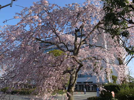 120150331_市役所前桜.JPG